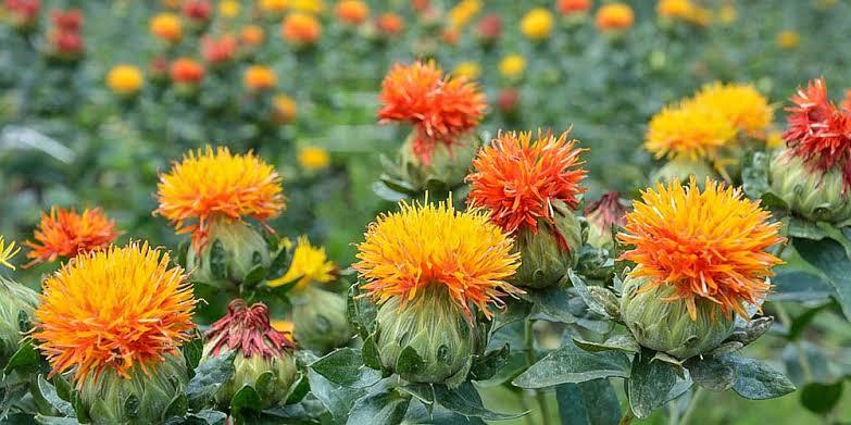 ดอกคำฝอยรักษาแผลกดทับ