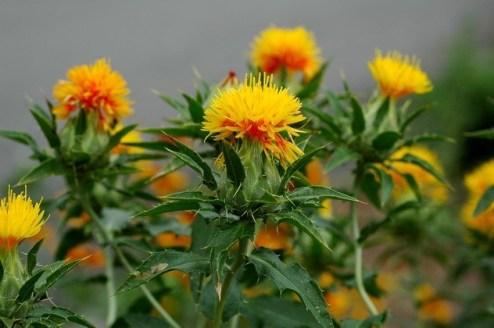ดอกคำฝอยรักษาแผลกดทับ-สมุนไพรเข้ามาเป็นตัวช่วยในการดูแลสุขภาพ