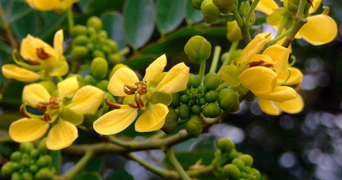 ผักที่มีวิตามินซีสูง-ดอกขี้เหล็ก